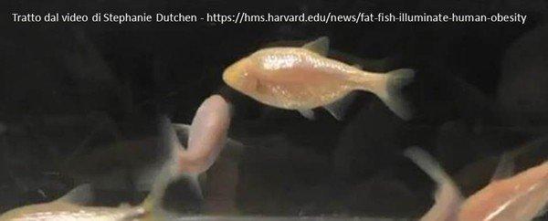 pesce messicano (Caracide) molto grasso  - unavitasumisura